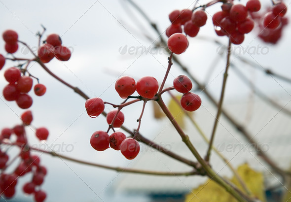 PhotoDune Guelder-rose red Autumn 4082682