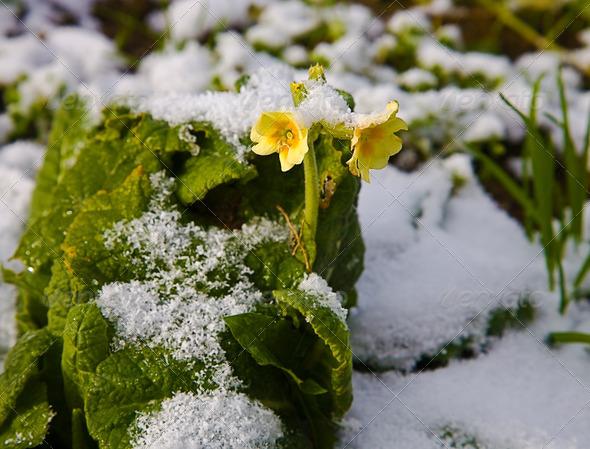PhotoDune Flower on snow 4082688