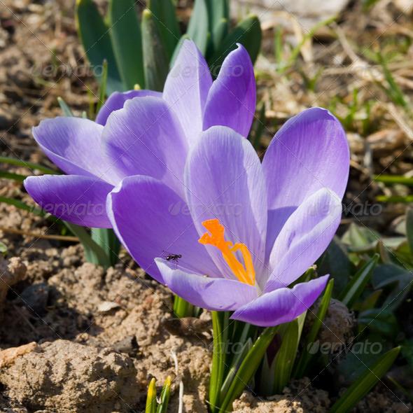 PhotoDune Violet flower 4082698