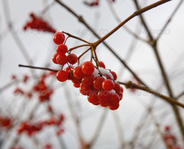 PhotoDune Guelder-rose red Autumn 4082707