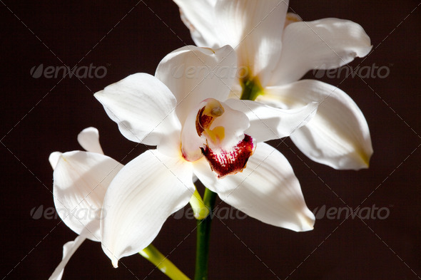 PhotoDune White orchid 4082718