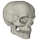 Anatomy Human Skull - 3DOcean Item for Sale