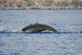 Humpback whale immerse - PhotoDune Item for Sale