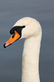 Der Schwan - The Swan - PhotoDune Item for Sale