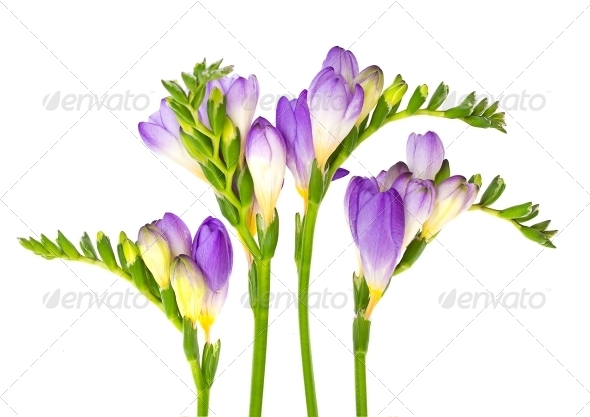 GraphicRiver Branch of Freesia with Flower Buds 4106807