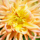 Yellow Dahlia Macro deer dof - PhotoDune Item for Sale