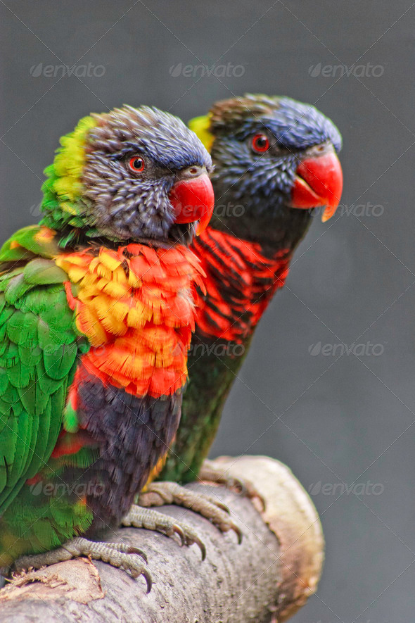 PhotoDune Lorikeets 4124380