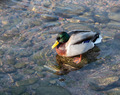 Male duck swimming - PhotoDune Item for Sale
