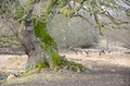 Old tree and fallow deers - PhotoDune Item for Sale
