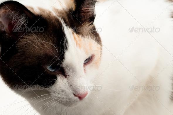 PhotoDune Beautiful white cat close up 4124375