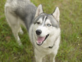 Siberian husky 2 colors eye - PhotoDune Item for Sale