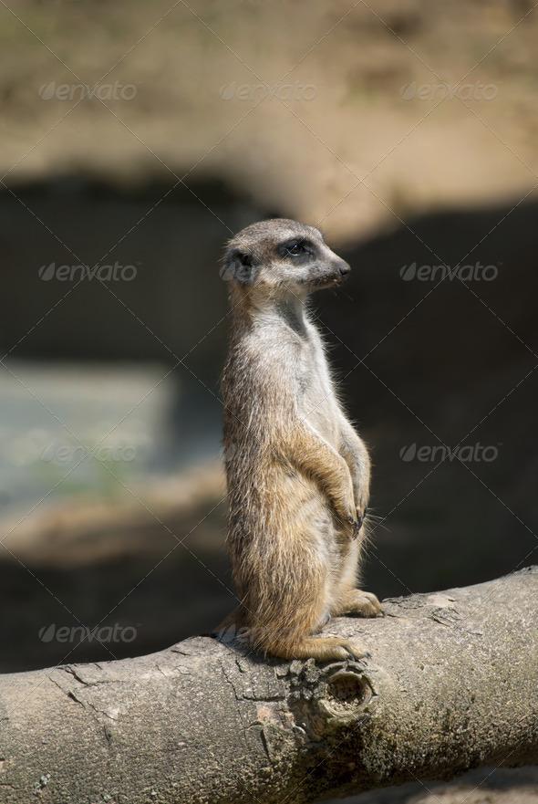 Meerkat - Stock Photo - Images