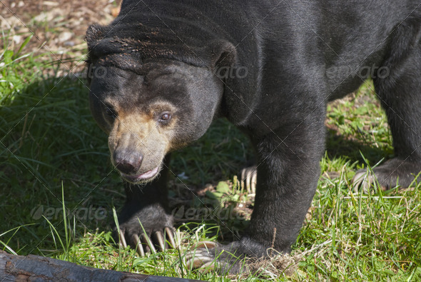 Sun Bear - Stock Photo - Images