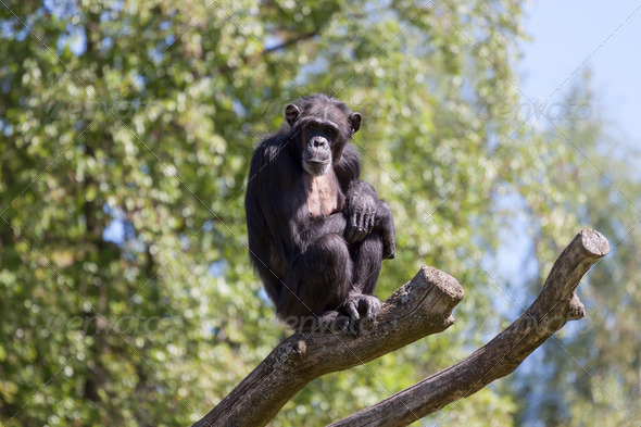 PhotoDune Chimpanzee on a trees over blue sky 4152517