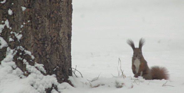 Squirrel Looking For Food In Snow And Jumping