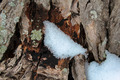 Snow On Tree Bark - PhotoDune Item for Sale