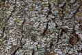 Locust Bark - PhotoDune Item for Sale