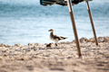 Seagull and Smaller Bird Going for a Walk Together - PhotoDune Item for Sale