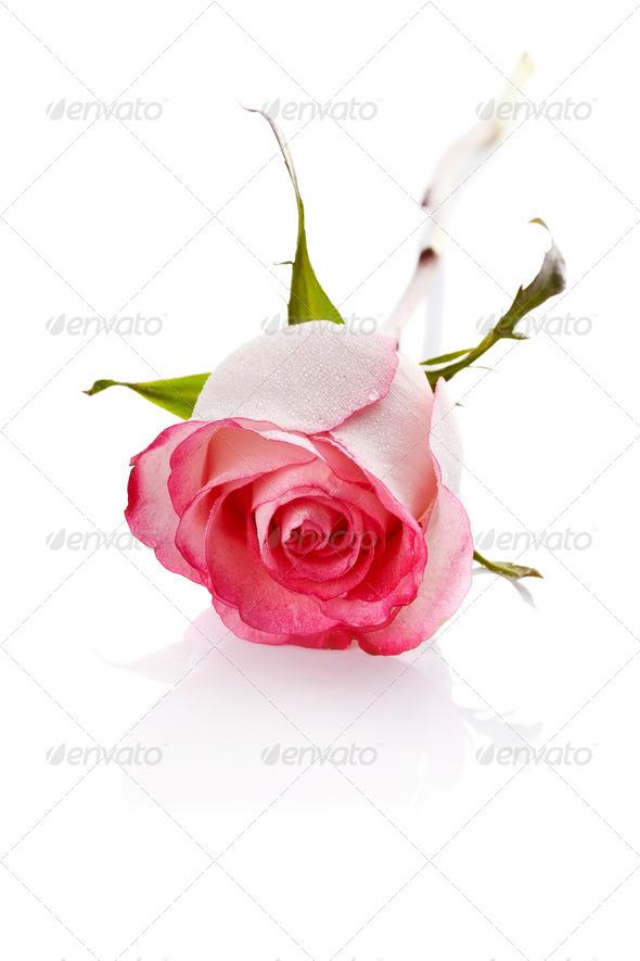 PhotoDune rose 4166149