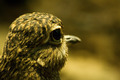 Spotted Dikkop (burhinus capensis) - PhotoDune Item for Sale