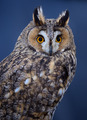 Portrait of Long-eared Owl - PhotoDune Item for Sale