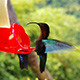 Humming-Bird On Caribbean Island - VideoHive Item for Sale