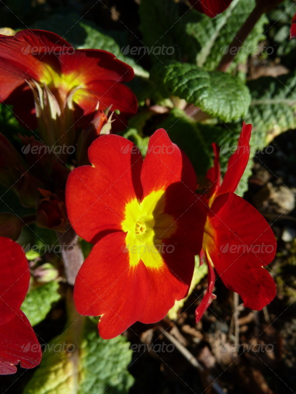 PhotoDune red primula 4253681