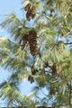 Pine Cones - PhotoDune Item for Sale