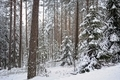 Winter forest landscape. - PhotoDune Item for Sale