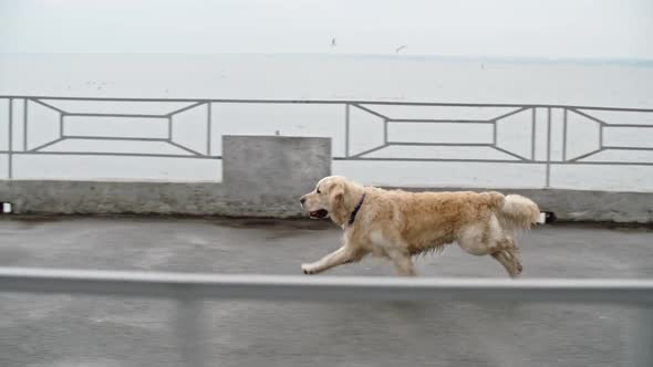 Download Gorgeous Retriever Dog Running nulled download