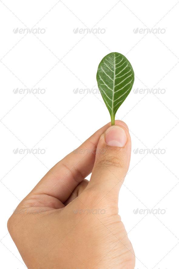 PhotoDune Home plant Euphorbia leuconeura leaf 4254022