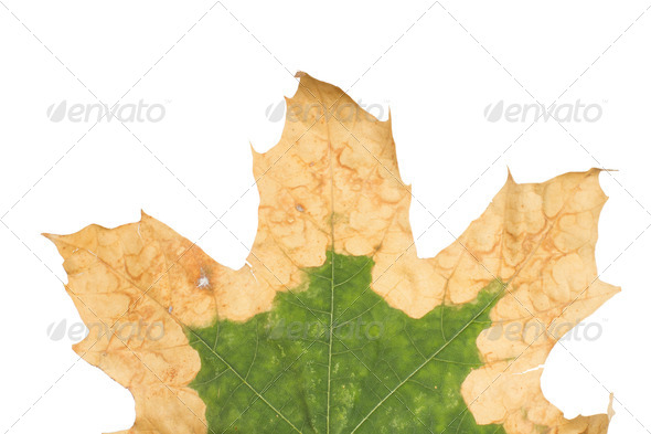 PhotoDune Lonely yellow leaf of a plane tree isolated on a white background 4254054