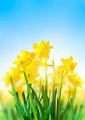 Yellow Daffodils Against a Blue Sky - PhotoDune Item for Sale