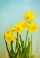 Vintage Yellow Daffodils - PhotoDune Item for Sale