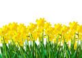 A row of Yellow Daffodils - PhotoDune Item for Sale