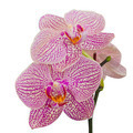 Purple orchid on white background with clipping path - PhotoDune Item for Sale