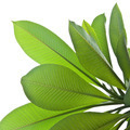 Plumeria leaves isolated on white background. - PhotoDune Item for Sale