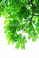 Green leave on white background - PhotoDune Item for Sale