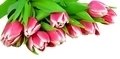 fresh tulips - PhotoDune Item for Sale