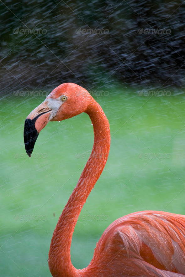 PhotoDune Flamingo Portrait 4221262