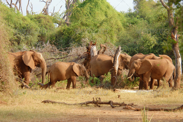 PhotoDune Herd of african elephants eating bush 4221385