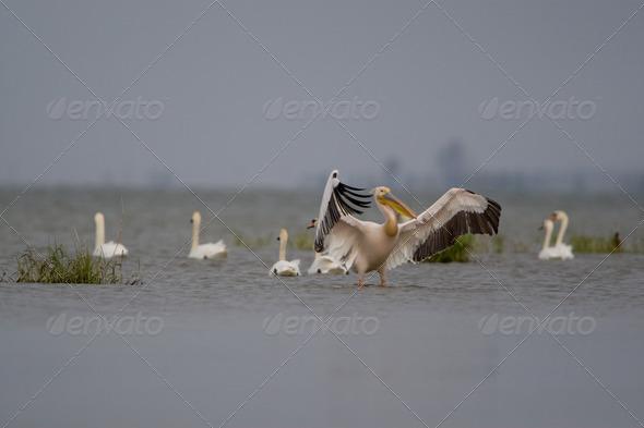 PhotoDune Pelicans 4223382