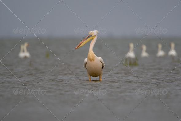 PhotoDune Pelicans 4223392