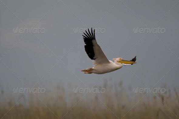 PhotoDune Pelicans 4223444