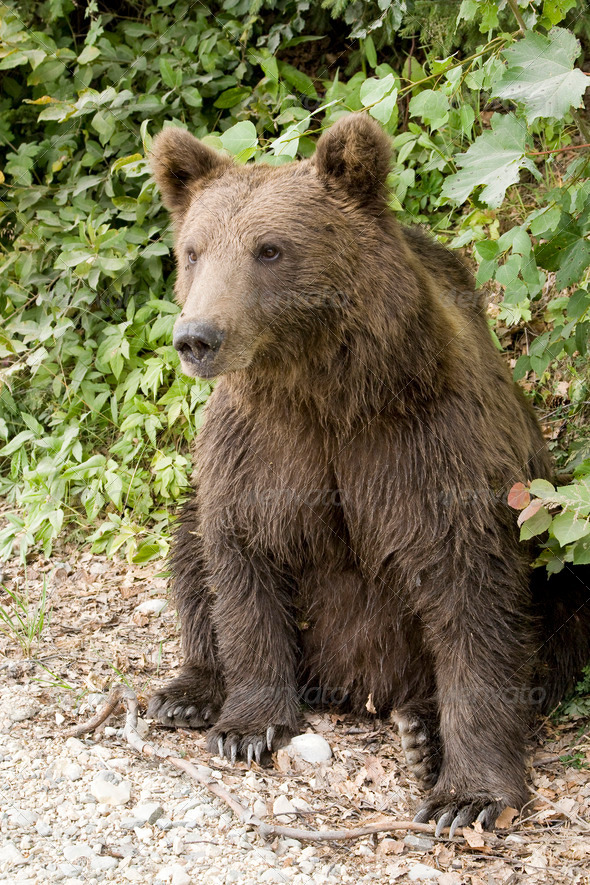 PhotoDune Bear Sitting In The Forest 4223460
