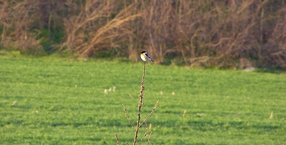 The European Stonechat