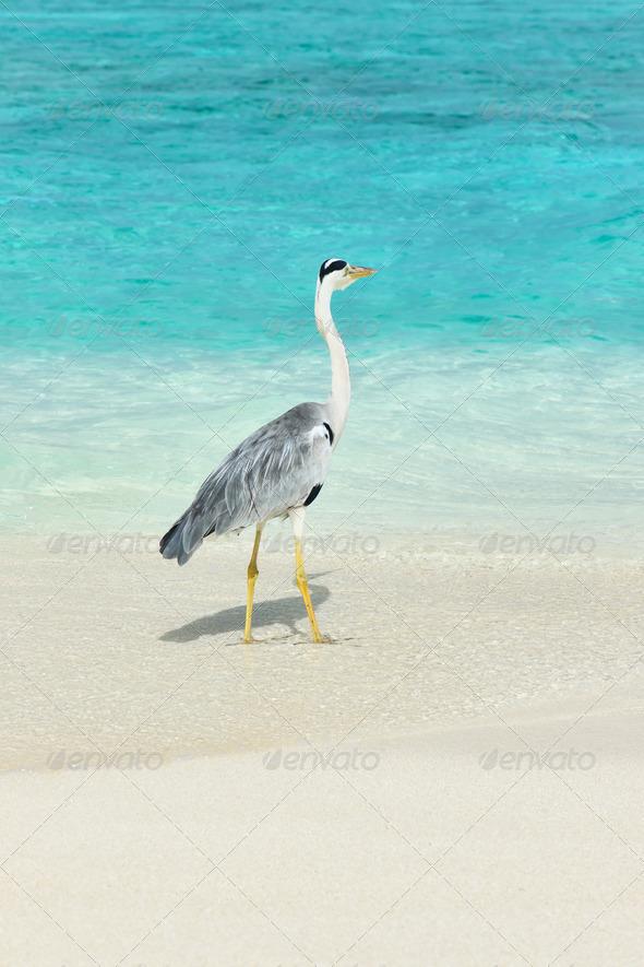 PhotoDune Heron at the beach 4229711
