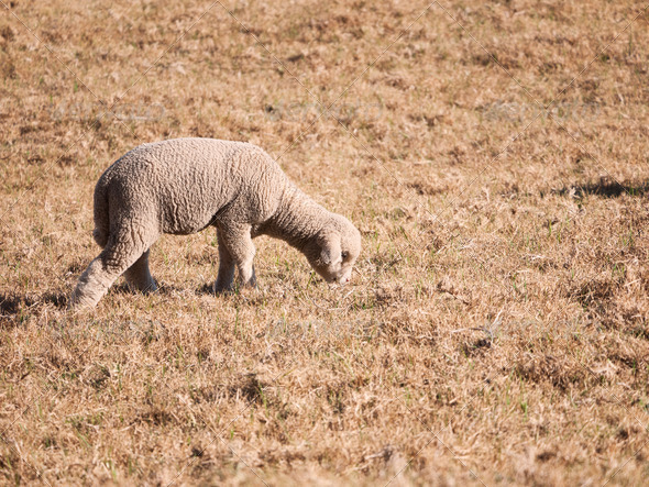 Sheep grazing - Stock Photo - Images