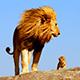 Lion%20n%20cab%20thumbnail