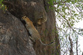 Leopard Climbing Up Rock Face - PhotoDune Item for Sale